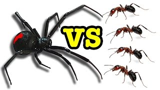 Killer Spider Vs Killer Ants The Ultimate Bug Battle 🕷 😵 🐜