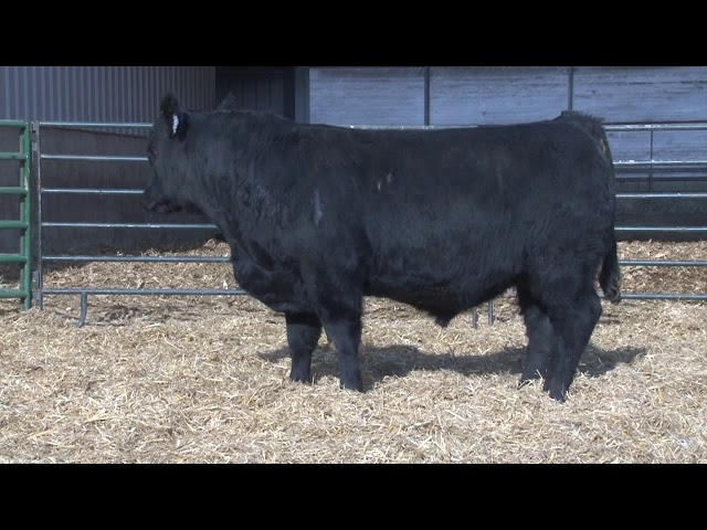 Schiefelbein Angus Farms Lot 109