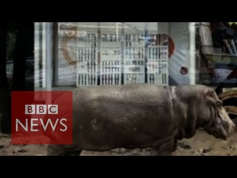 Hippo, lions and bears loose in Georgia after floods - BBC News