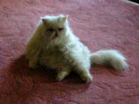 Possum my persian cat...