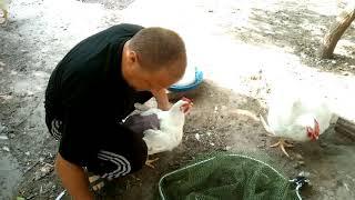 Самая тяжёлая порода кур - промышленный корниш. 3 месяца 5 кг 850 грамм на комбикорме для несушек.