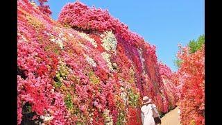 長崎県大村市の「松本つつじ園」で、ここのつつじは、半端で無く、つつ...