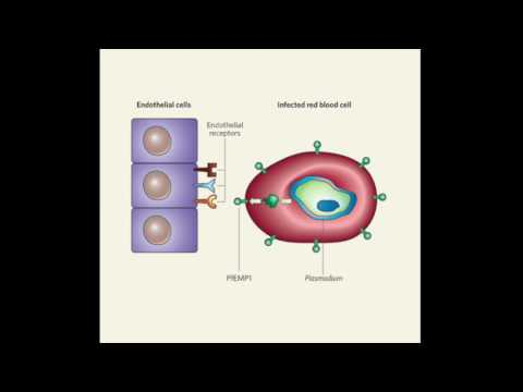 PfEMP1 strand of Malaria
