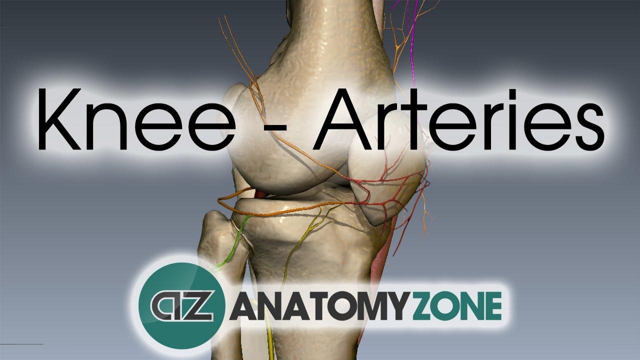 Knee Arteries - 3D Anatomy Tutorial - YouTube