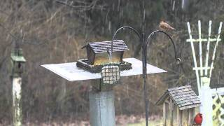 The State Bird Of Kentucky- Cardinal's Feeding At Our Backyard Bird Feeder On A Snowy Day