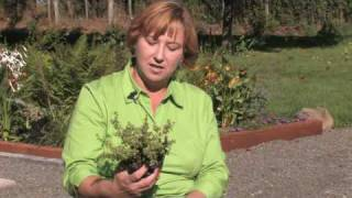 Growing Herbs : How to Grow Thyme