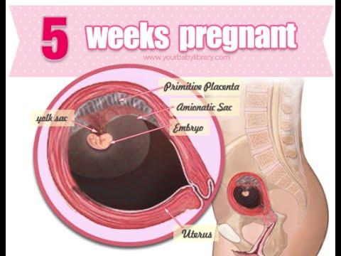 Pregnancy Week 5