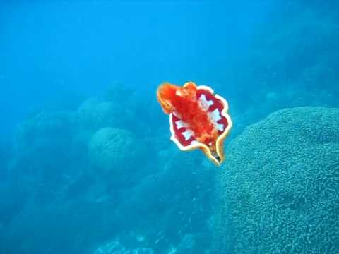 Spanish dancer wavelength snorkeling great barrier reef for Translate fish to spanish