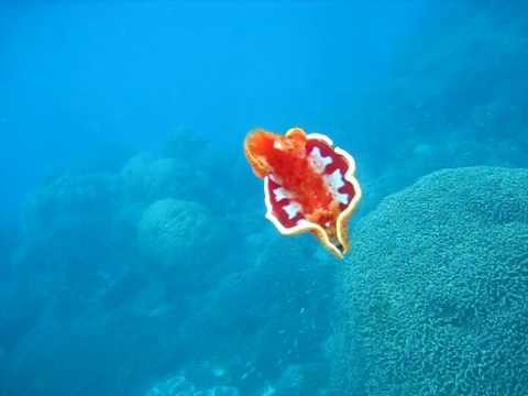 Spanish Dancer: Wavelength Snorkeling Great Barrier Reef.AVI