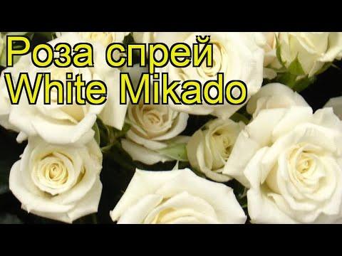 Роза спрей Уайт Микадо. Краткий обзор, описание характеристик, где купить саженцы White Mikado