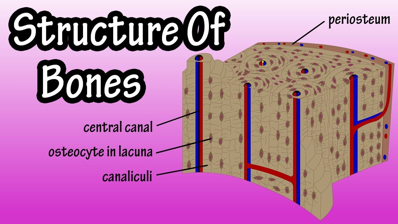 structure of bone tissue bone structure anatomy components of bones [ 1280 x 720 Pixel ]