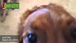 Irish Setter - Dog Training Of Fort Myers - Patrick Logue