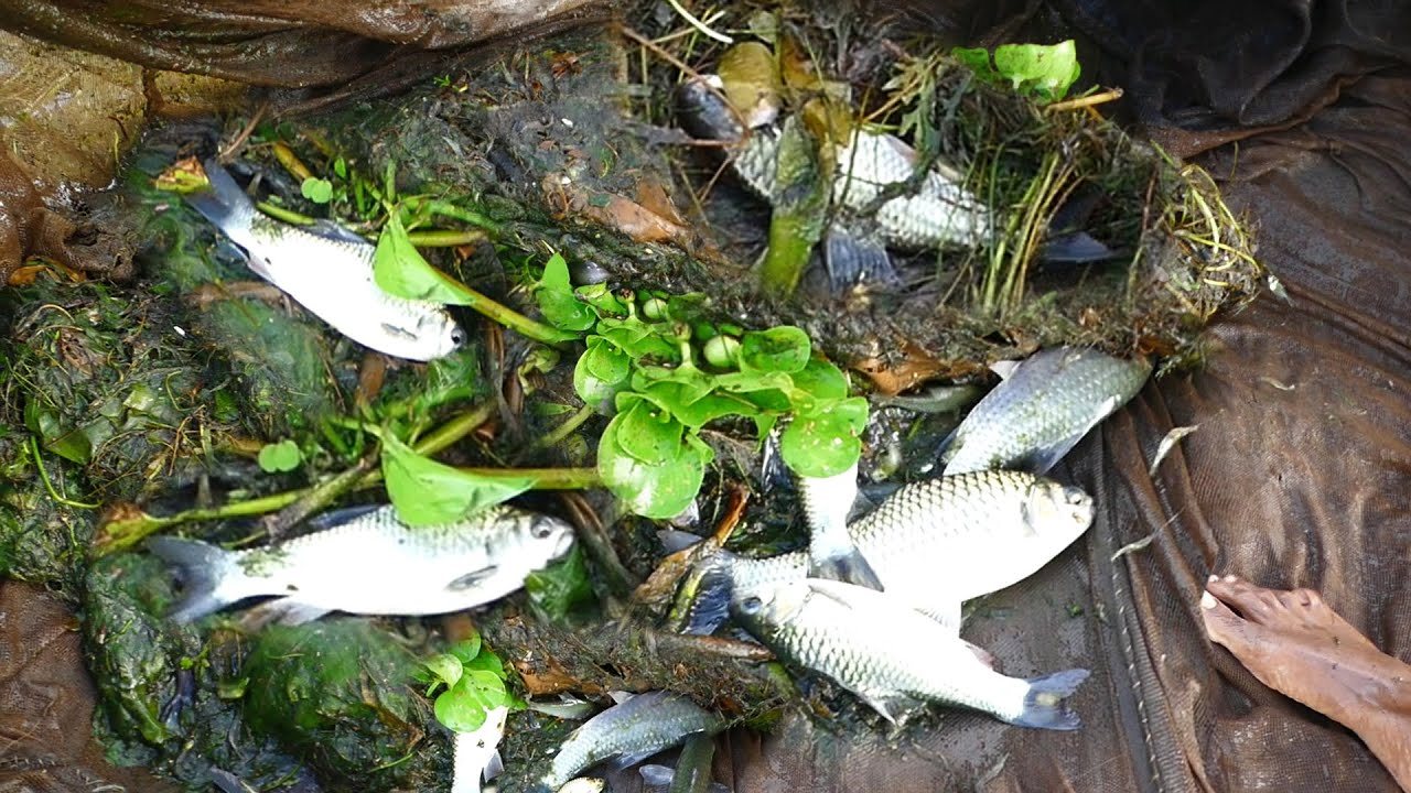 Amazing Net Fishing ! Best Fishing in River। Traditional Fish Catching by Net