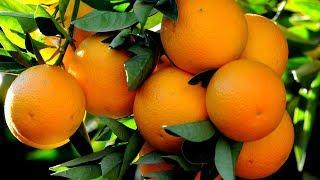 PORTAKAL REÇELİ TARİFİ /  Portakal Reçeli nasıl yapılır ?