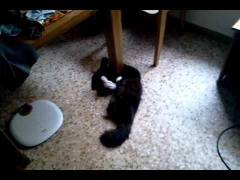 Видео про кота смеющегося