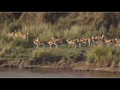 KenyaMaraTriangleSafariLive 23 Sep 2016 Thompsons gazelles crossing the river