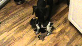 German Shorthaired Pointer Pup Experiences His First Day Out Of The Puppy Pen.
