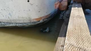 Mira!! León Marino jala a niña Al agua.