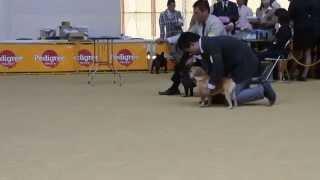滋賀県竜王町ドラゴンハットで開催された、ドッグショーに出場。海波(...