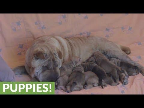 Luna the Shar Pei feeds her newborn puppies