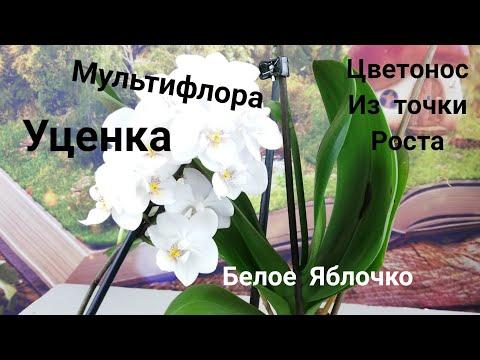 Орхидеи. Фаленопсис Мультифлора ,, Белое Яблочко,, цветонос из точки роста.  1 месяц после покупки.