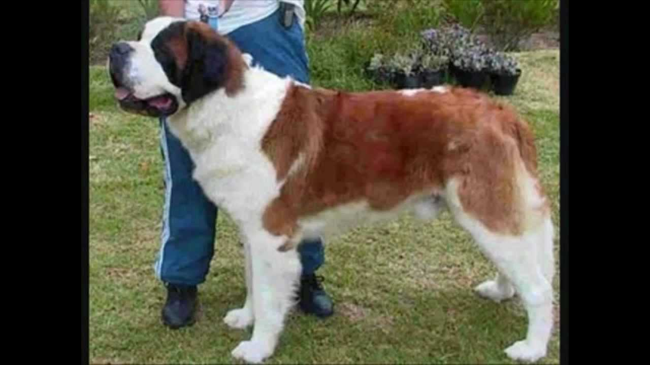 Largest Biggest Heaviest Dogs In The World Youtube