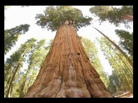Природоведение 56. Хвойные деревья — Шишкина школа