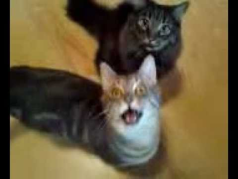 Kitten raspy meow
