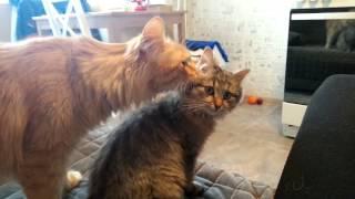 Кошка-мама (3-4 месяца) и старый кот, который ее вырастил.