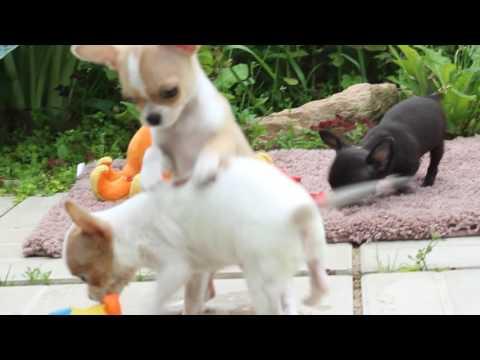 Мини щенки чихуахуа шоколадного окраса)из YouTube · С высокой четкостью · Длительность: 39 с  · Просмотры: более 2000 · отправлено: 02.05.2016 · кем отправлено: Fun House Best