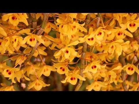 อลังการเหลืองจันทรบูร,Yellow Chantaboon,Local thailand orchid