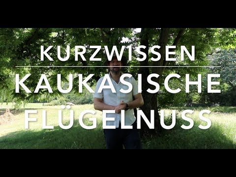 Kaukasische Flügelnuss - Waldkurzwissen
