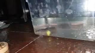 미꾸라지를 풀어내는 영상 (라이언 블랙)