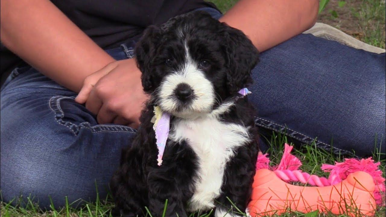 Kinzees F1b Mini Bernedoodle Puppies On 8242019