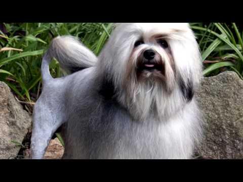 Порода собак. Левхен. Собака-ЛЕВ.Есть огромная схожесть с ЦАРЕМ ЗВЕРЕЙ!