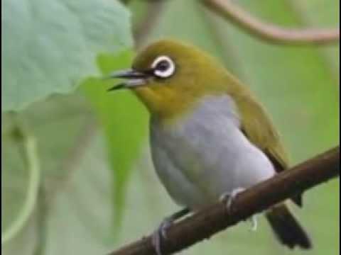 Suara burung pleci kacamata ngalas panjang versi 2