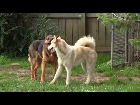 Siberian Husky, German Shepherd, & Jack Russell Terrier