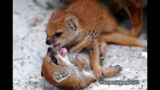 Yellow Mongoose Babies