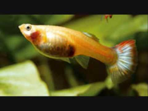 How to tell if your guppy is pregnant youtube for How long is a guppy fish pregnant