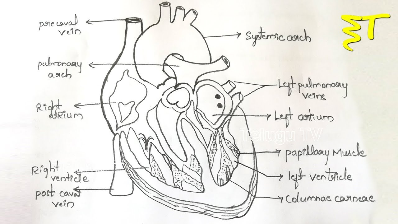 Important Drawings How To Draw A Internal Structure Of The Heart