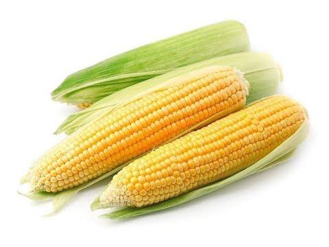 Вопрос: Сколько початков кукурузы можно собрать с одного растения?