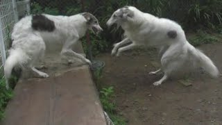 Borzoi Dogs Playing Fighting