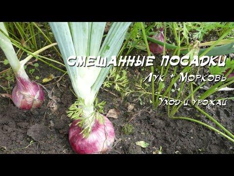 Смешанные посадки. Лук + морковь 2 (Уход и урожай)