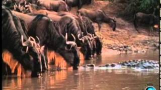 Wildebeest the Great African Migration