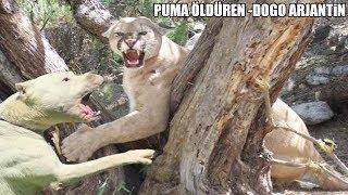 Pumayı Boğarak Sahibini Kurtaran'' DOGO ARGENTİNO'' Dogo Argentino vs Puma'' Strongest dogs