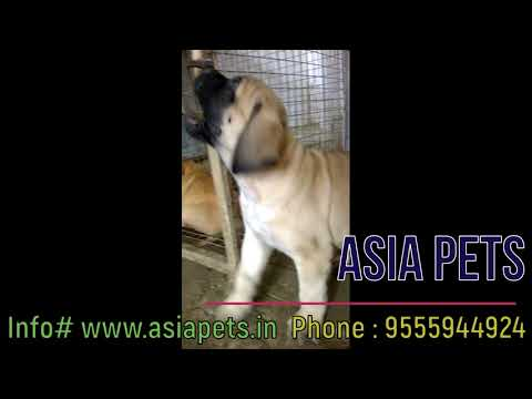 English Mastiff Puppy For Sale in Delhi | Best Price | Asia Pets.in