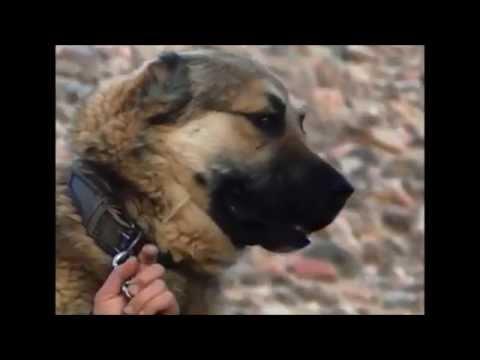 Кыргыз добот! Горные волкодавы!