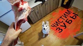 Хаски Капелла и говяжий мосол. Как чистить зубы собаке естественным путем
