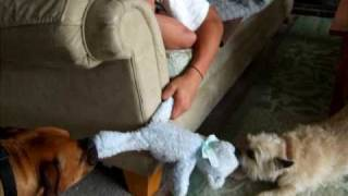 Funny Boxer Dog Dayla And Cairn Terrier Makayla