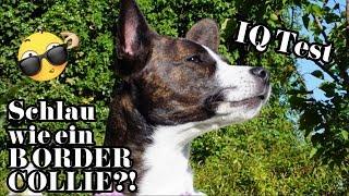 Schlau wie ein Border Collie?! // IQ Test für Hunde // Wie schlau ist Fannie?